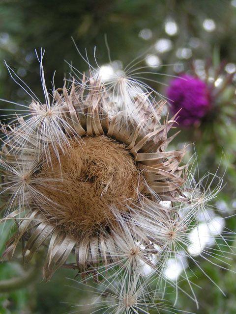 Chardon Sec Photo Gratuite De Fleurs