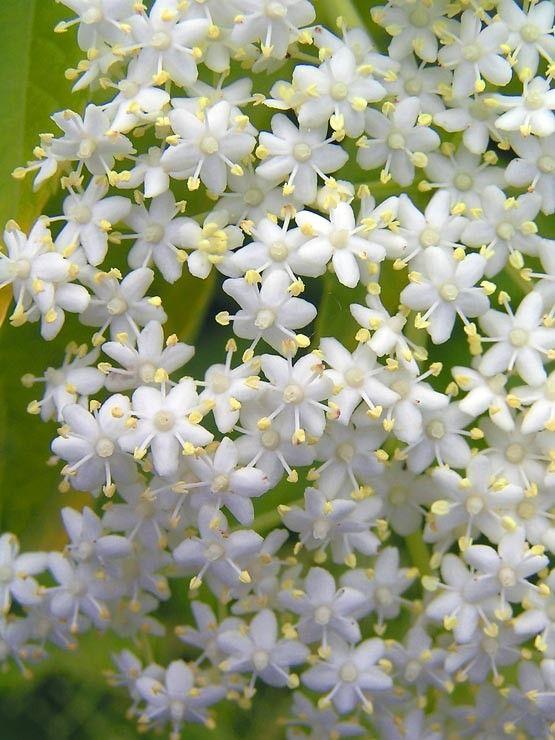les fleurs de sureau