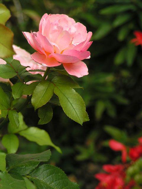 Rose épanouie image gratuite